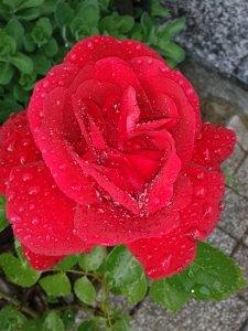 Rote Rosenblüte mit Regentropfen in Renchen/Ortenau