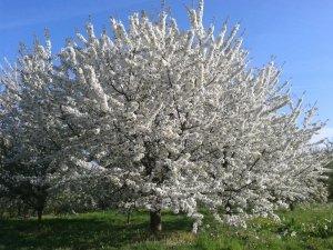 Kirschbaum in voller Blüte auf grüner Wiese mit blauem Himmel